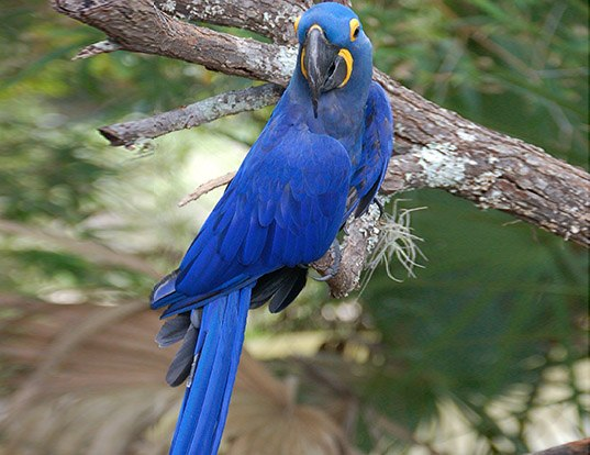 Picture of a hyacinth macaw (Anodorhynchus hyacinthinus)