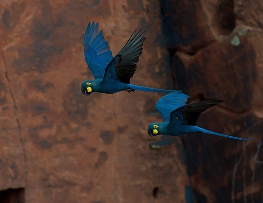 Picture of a lear's macaw (Anodorhynchus leari)