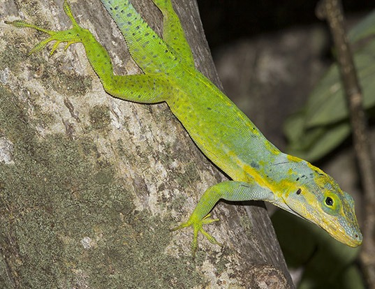 Picture of a panther anole (Anolis bimaculatus)