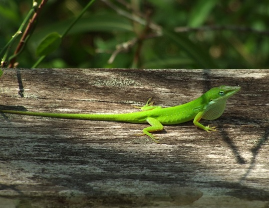 Picture of a green anole (Anolis carolinensis)