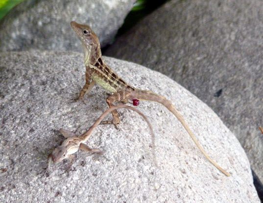 Picture of a jamaica anolis (Anolis lineatopus)