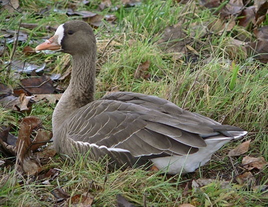 Picture of a greater white-fronted goose (Anser albifrons)