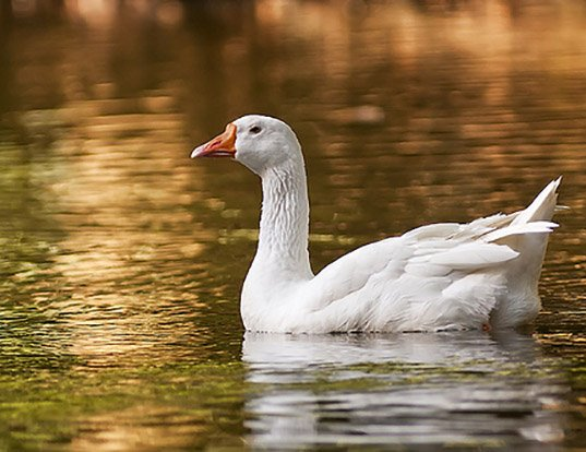 Picture of a domestic goose (Anser anser domesticus)