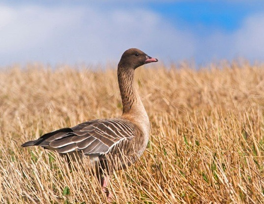 Picture of a pink-footed goose (Anser brachyrhynchus)