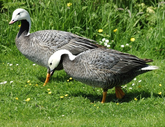 Picture of a emperor goose (Anser canagicus)