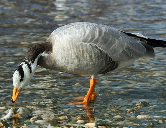 Picture of a bar-headed goose (Anser indicus)