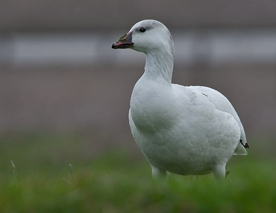 Picture of a ross's goose (Anser rossii)