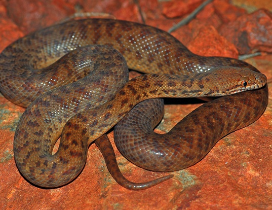 Picture of a pygmy python (Antaresia perthensis)