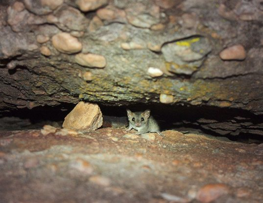 Picture of a fawn antechinus (Antechinus bellus)