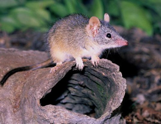 Picture of a yellow-footed antechinus (Antechinus flavipes)