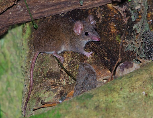 Picture of a brown antechinus (Antechinus stuartii)