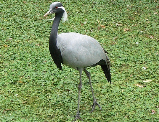 Picture of a demoiselle crane (Anthropoides virgo)