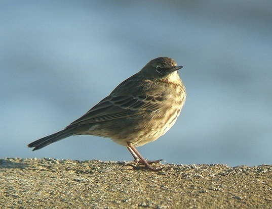 Picture of a rock pipit (Anthus petrosus)