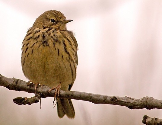 Picture of a meadow pipit (Anthus pratensis)