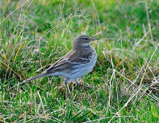Picture of a water pipit (Anthus spinoletta)