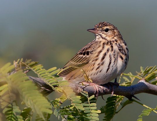 Picture of a brown tree-pipit and tree pipit (Anthus trivialis)
