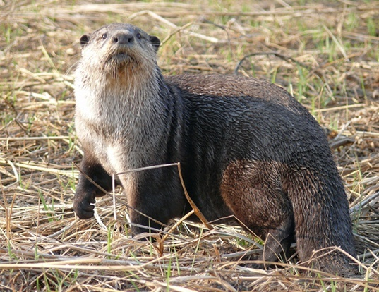 Picture of a african clawless otter (Aonyx capensis)