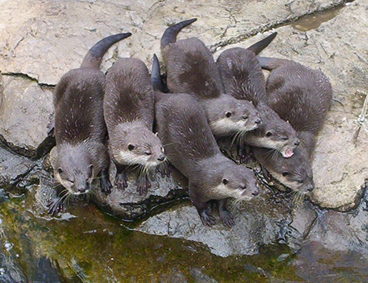 Picture of a asian small-clawed otter (Aonyx cinerea)