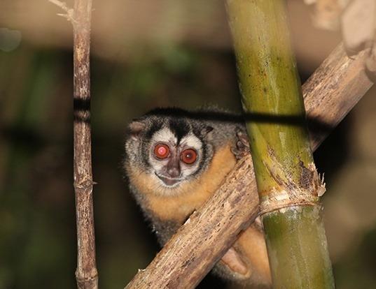 Picture of a azara's night monkey (Aotus azarae)