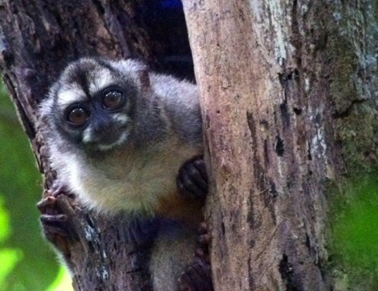 Picture of a colombian night monkey (Aotus lemurinus)