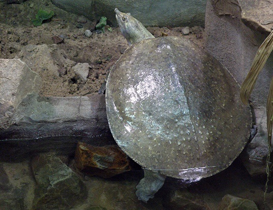 Picture of a spiny softshell turtle (Apalone spinifera)