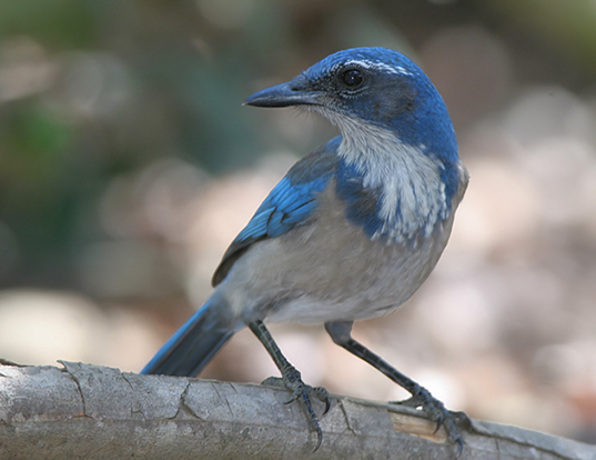 9d3961c7fee Picture of a western scrub-jay (Aphelocoma californica)