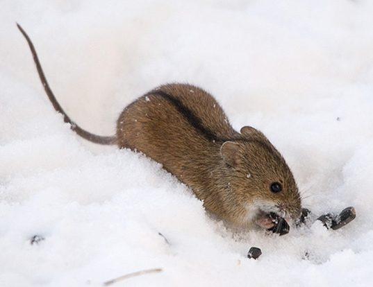 Picture of a striped field mouse (Apodemus agrarius)