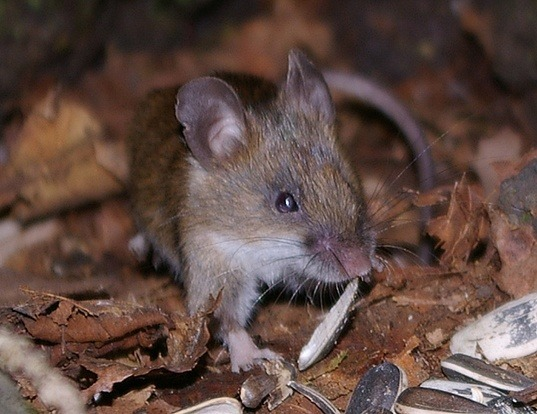 Picture of a small japanese field mouse (Apodemus argenteus)