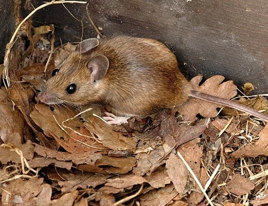 Picture of a yellow-necked field mouse (Apodemus flavicollis)