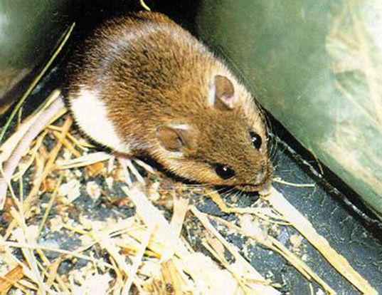 Picture of a korean field mouse (Apodemus peninsulae)