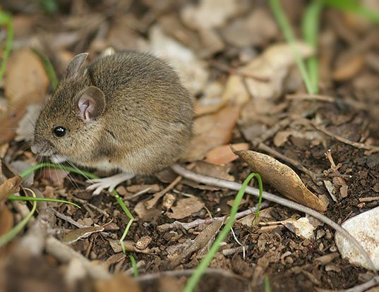 Picture of a long-tailed field mouse (Apodemus sylvaticus)