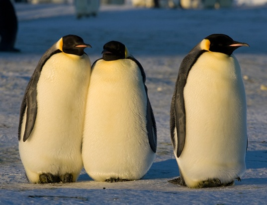 Picture of a emperor penguin (Aptenodytes forsteri)