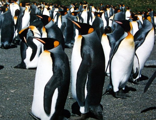 Picture of a king penguin (Aptenodytes patagonicus)