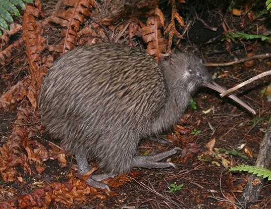 Picture of a southern brown kiwi (Apteryx australis)