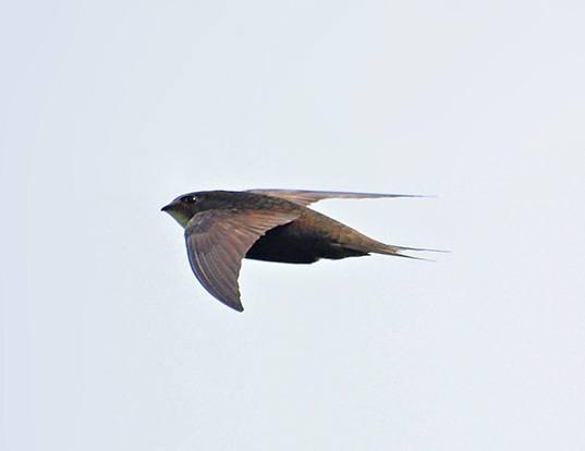 Picture of a swift (Apus apus)