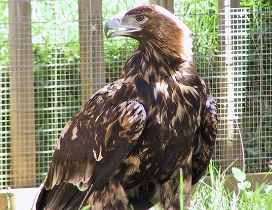Picture of a spanish imperial eagle (Aquila adalberti)