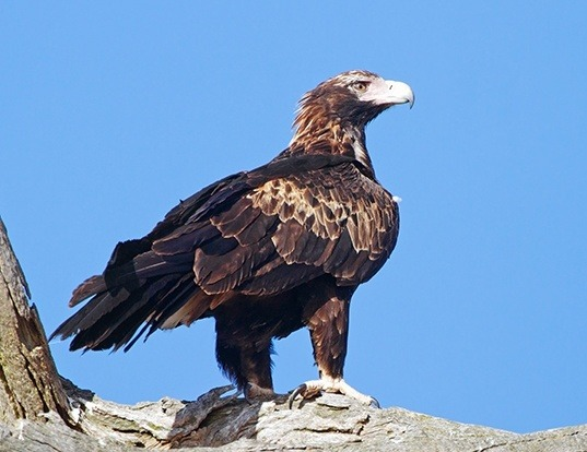 Picture of a wedge-tailed eagle (Aquila audax)