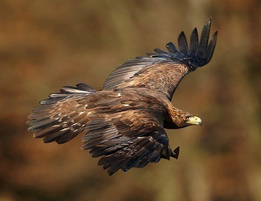 Picture of a golden eagle (Aquila chrysaetos)