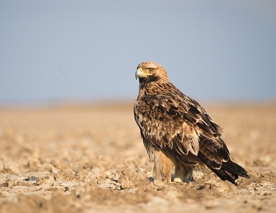 Picture of a eastern imperical eagle (Aquila heliaca)