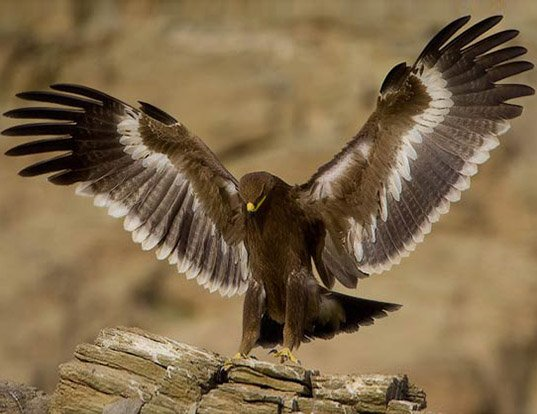 Picture of a steppe eagle (Aquila nipalensis)