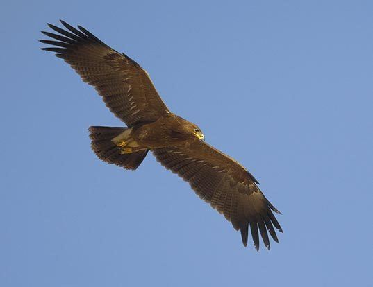 Picture of a lesser spotted eagle (Aquila pomarina)