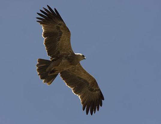 Picture of a tawny eagle (abyssinian) (Aquila rapax belisarius)