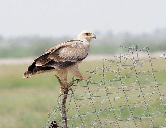 Picture of a tawny eagle (Aquila rapax)