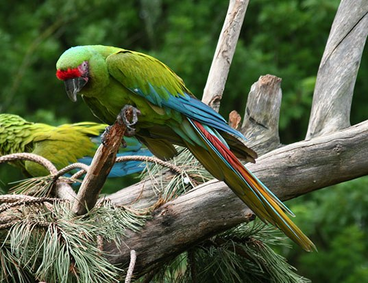 Picture of a great green macaw (Ara ambiguus)