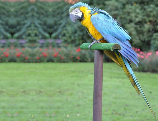 Picture of a blue and yellow macaw (Ara ararauna)