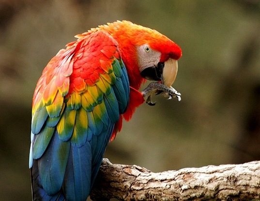 Picture of a scarlet macaw (Ara macao)