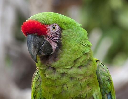 Picture of a military macaw (Ara militaris)