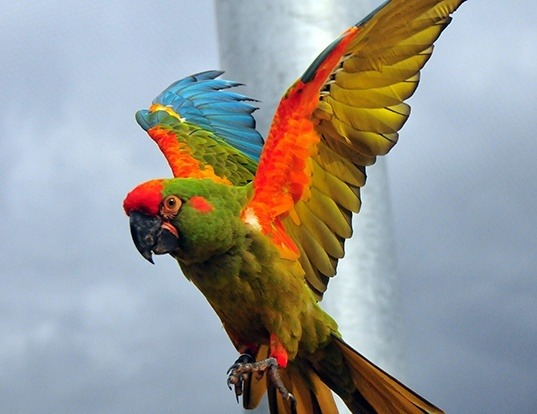Picture of a red-fronted macaw (Ara rubrogenys)