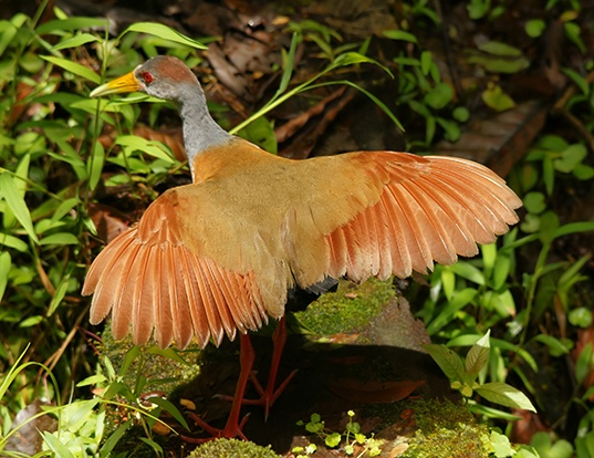 Picture of a grey-necked wood rail (Aramides cajaneus)