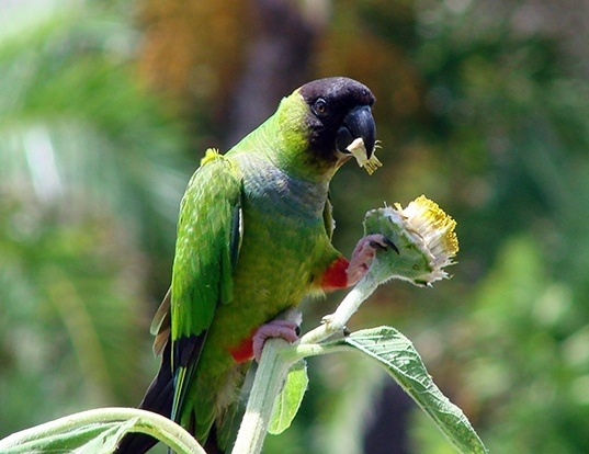 Picture of a black-hooded conure (Aratinga nenday)